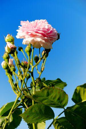 A rose blossom and the blue sky.