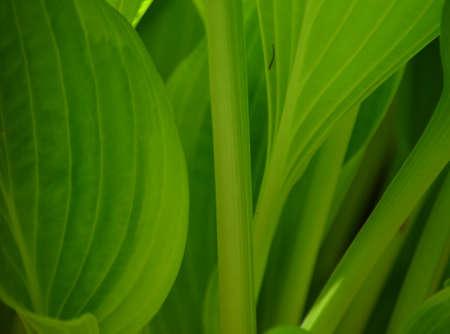 緑豊かなホスタ プラント 2 写真素材 - 54161318