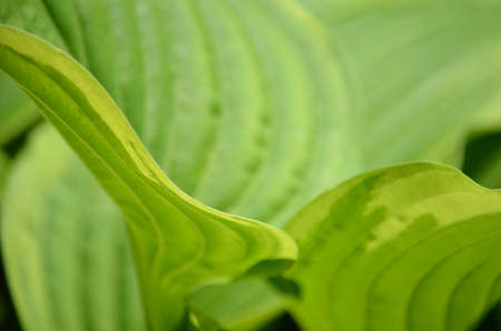 hosta: lush hosta plant 1 Stock Photo