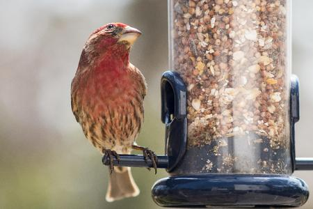 House finch feeding at a bird feeder