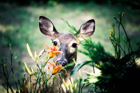 north american: North American White-tailed deer feeding on flowers