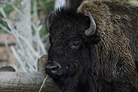 Billie the buffalo