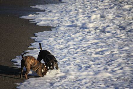 Dogs playing in the sea photo