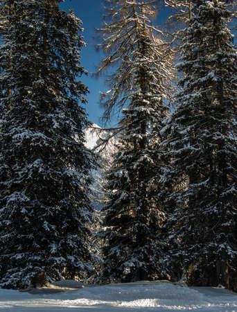 skipiste: Auf einem Ski durch den Winterwald in der N�he der Berg Sesvenna Gruppe, Engadin, Schweiz laufen