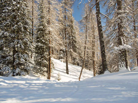 deep powder snow: Afternoon sunlight in a beautiful winter forest in the Engadine, Switzerland
