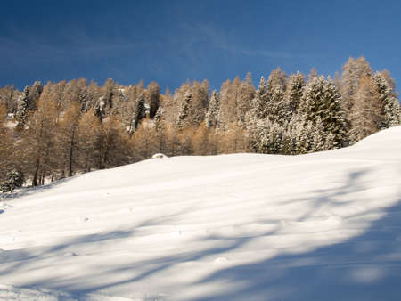 deep powder snow: Snow-covered trees on a mountain slope,Engadine, Switzerland