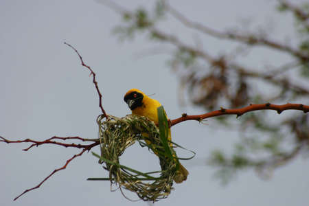 Weaver building a nest photo