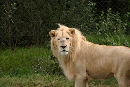 a rare: Very rare white lion