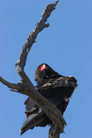 raptor: Bateleur, Terathopius ecaudatus, very rare african raptor Stock Photo