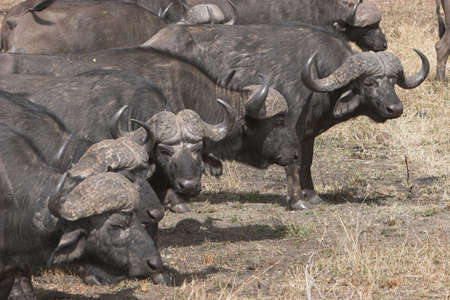Buffalos forming up in a line photo