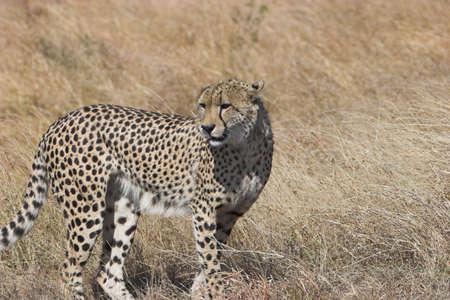 jubatus: Cheetah watchful, looking around, Acinonyx jubatus;