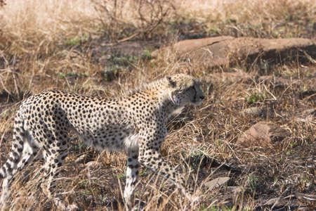 jubatus: Cheeta stalking its prey , Acinonyx jubatus