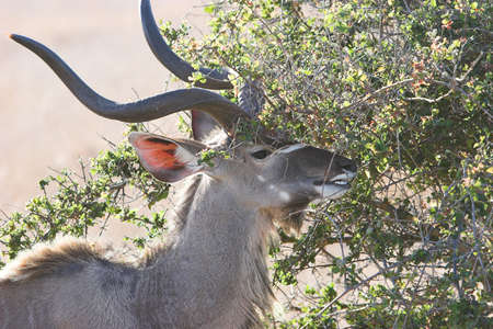 buck teeth: Kudu feeding on a young tree, tragelaphus strepsiceros