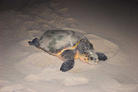 poaching: Turtle on her way back to the sea after laying eggs