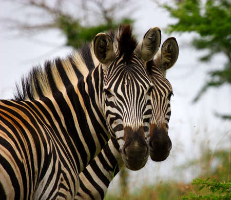 grazer: Two zebra brothers standing together looking at camera