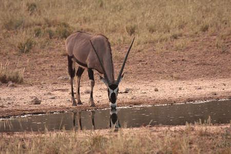 grazer: Gemsbok drinking water after good summer rain