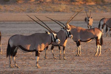 grazer: Gemsbok standing in a dry river bed Stock Photo