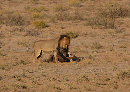 Male lion dragging wildebees kill towards shade Stock Photo - 3099146