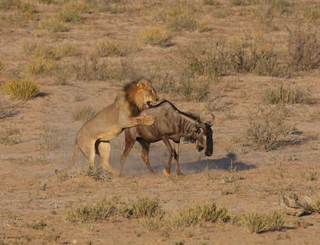 attacking: Male african lion hunting down a blue wildebeest