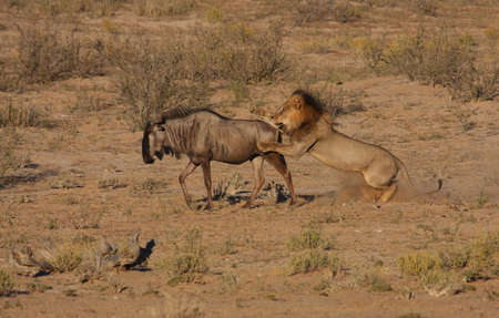 antelope: Male lion hunt in motion as he jumps the prey Stock Photo
