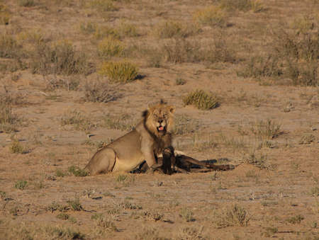 Male lion taking a breather after dragging kill Stock Photo - 3099145