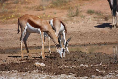 springbok: Springbok drinking water after good summer rains