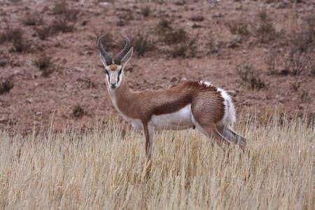 springbok: Springbok wet after good summer rains in Kalahari Stock Photo