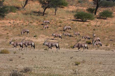 grazer: Gemsbok herd on red dune in the Kalahari