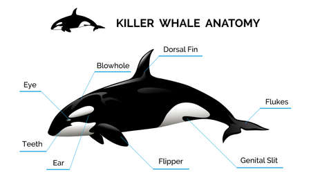 Illustration of killer whale anatomy. Isolated on white background. Only free fonts used.
