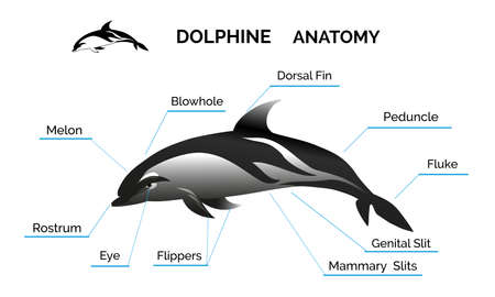 cetacea: Illustration of Dolphine anatomy. Isolated on white background. Free font Raleway used.