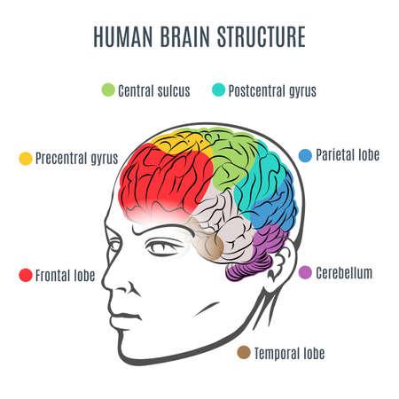 Structure of the human brain. Human head with brain inside. Human brain main parts. Vector illustration. Illustration