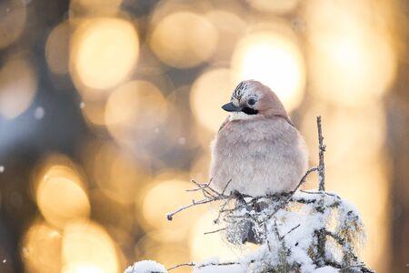 Jay, bird, Garrulus glandarius