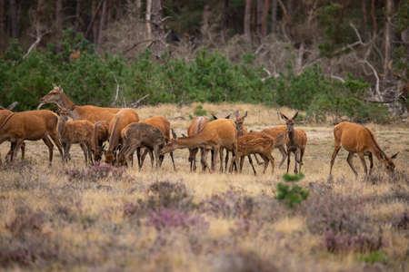 Red Deer, Deer in Rutting season