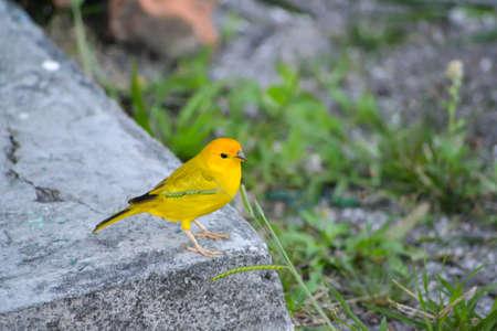 Yellowe 鳥カナリア