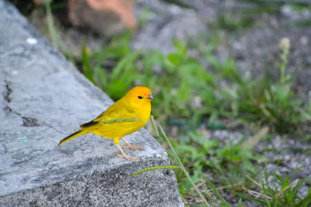 Yellowe Bird Canary Stock fotó