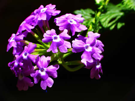violette fleur: fleur pourpre