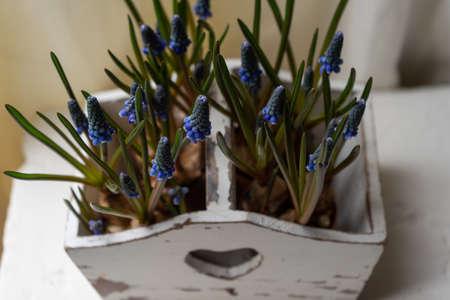 Blue Grape Hyacinth, Muscari armeniacum flowers in white vintage box.