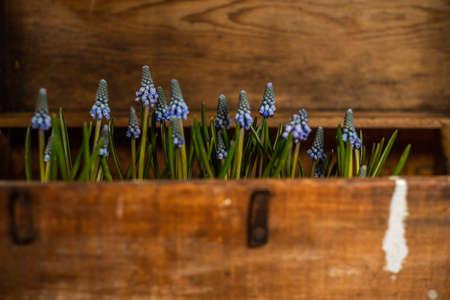 Blue Grape Hyacinth, Muscari armeniacum flowers in brown vintage box.