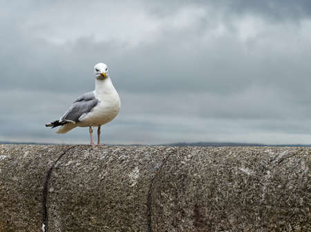 Lonely seagull on a bridge on a cloudy day on the ocean. Cornwall.