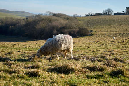 Lonely sheep eating grass in the field with a view of the village. Close up Stock fotó