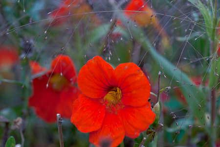 Selective focus on nasturtiums in autumn garden. Close up