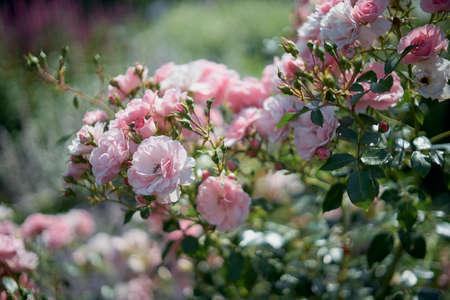Defocused background of summer garden flowers. Roses. Close up, blurred.
