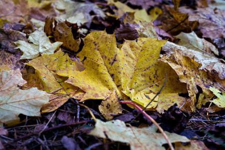Defocused autumn leaves background. October. Close up