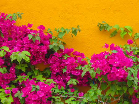 Bougainvillee flowers on a house