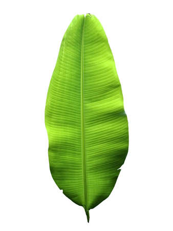 leave: banana leaf is the background of white