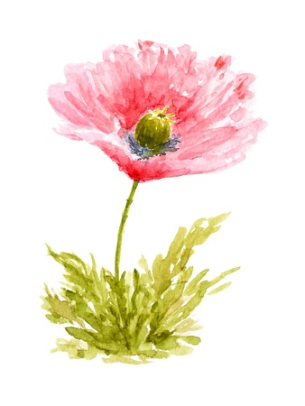 saturated: Poppy Flower Watercolor Hand Painted, Isolated on White