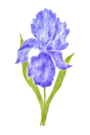 isolated irises: Iris Flower Watercolor Hand Painted, Isolated on White Stock Photo