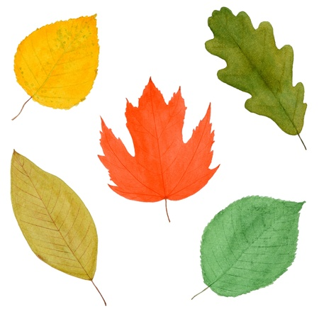 Set of Colorful Autumnal Tree Leaves, Watercolor Hand Drawn and Painted, Isolated on White Stock Photo - 15512874