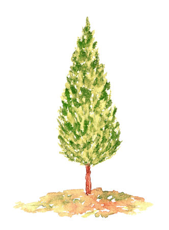 cypress tree: Watercolor Cypress Tree, Hand Drawn and Painted, Isolated on White