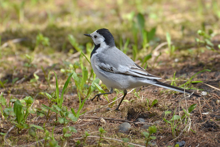 wee: White Wagtail (Motacilla alba) on Forest Ground (Western Siberia)